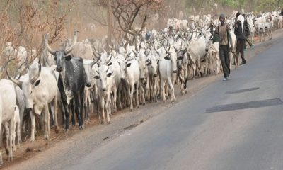 """We Attacked Benue Communities Because The Residents Stole Our Cows""-Miyetti Allah Cattle Breeders"