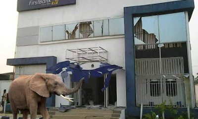 The ELEPHANT was said to appear just moments after  the money van left the bank premises. The route through which the ELEPHANT came into the bank is yet to be known. There was fear and dis-orderliness in the bank as security operatives opened fire on the animal damaging the bank premises and wounding one of the banks staff  in the proccess  The bank Manager Mr. Ogunwusi Olaiya later diclosed that the ELEPHANT carted  away an HUGE sum of 125MILLION NAIRA!.WILD!