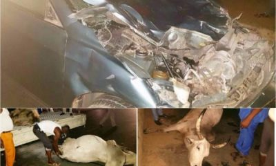 Cows Cause A Ghastly Motor Accident In Rivers State