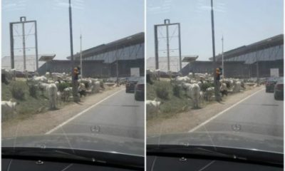 Animal kingdom; Cows Take Over Abuja International Airport