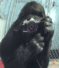 Koko, The 46-Year-Old Gorilla Who Mastered Sign Language, Has Died