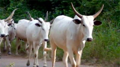 No Plot Of Land In Yoruba Land Is Available For Cattle Ranching – Afenifere