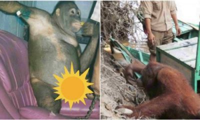 """An orangutan chained to bed, shaved daily and forced to have sex with men for years, has finally undergone rehabilitation after it was rescued from its kidnapper. 'Prostitute' orangutan chained to bed, shaved daily and forced to have sex with men lailasnews 3 Share 'Prostitute' orangutan chained to bed, shaved daily and forced to have sex with men The animal, named Pony, was captured and """"treated as a prostitute"""" by her kidnapper, who pimped her out to clients. The sickening abuse carried on for years before she was finally freed. Rescuers discovered Pony's body had been shaved and she was covered in painful bites. 'Prostitute' orangutan chained to bed, shaved daily and forced to have sex with men lailasnews 2 Share She had been chained to a bed and raped repeatedly. The Borneo Orangutan Survival Foundation said: """"Unthinkably, Pony was herself treated as a prostitute. Men could pay a certain amount of money to the house owner to have sex with her."""" It is thought Pony was just six years old when she was rescued and it is not known exactly how long she had been at the 'brothel'. READ ALSO! Florida man arrested for having sex with horse many times The BOSF's statement continued: """"The house owner strongly refused to give up Pony. To her, Pony was a cash machine and a source of luck."""" It took the intervention of police and military officers to persuade the homeowner to allow the orangutan to leave. During her ordeal, Pony was made to perform sex acts on men and it has taken more than a decade to rehabilitate her. Share Pony after years of rehabilitation She was brought to the Nyaru Menteng centre in Borneo, Indonesia, where workers were alarmed at the damage done to her. Pony showed no desire to explore and was not able to forage for food herself. READ ALSO! Florida man arrested for having sex with horse many times Volunteer Michelle Desilets told Sun Online: """"It was horrifying. She was a sex slave – it was grotesque. She must have been in so much pain."""" The orangutan wa"""