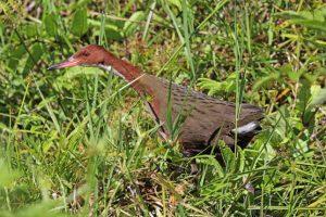 'Extinct' Bird Resurfaces 136,000 Years Later Through Evolution