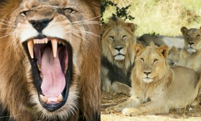 Alert Issued As Pride Of 14 Lions Escape South Africa's Kruger National Park