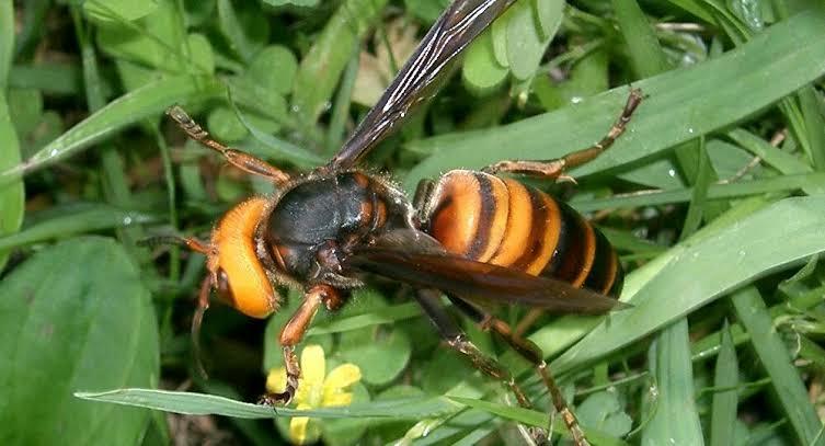 Asian Murder Hornet