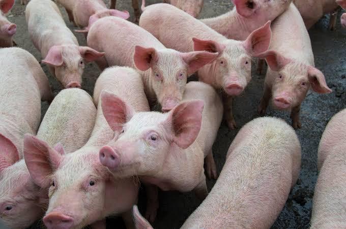 New Swine flu in pigs