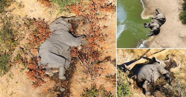 Elephants mysteriously die in Botswana