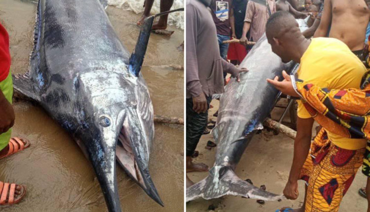 Photos: Jubilation As Fisherman Catches Giant Swordfish In Rivers